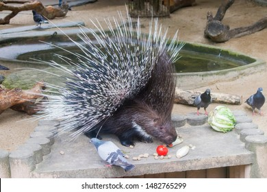 The Indian crested porcupine is eating foods, few wild pigeons want to get food as well.  It is a large species of hystricomorph rodent belonging to the Old World porcupine family.