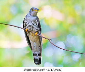 Indian Cuckoo ( Cuculus micropterus )
