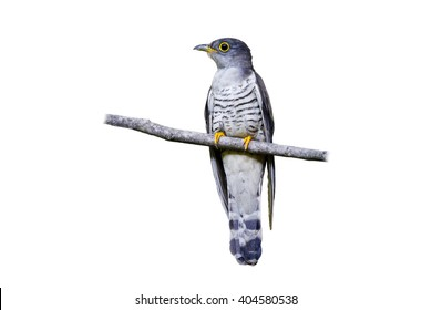 Indian cuckoo (Cuculus micropterus) on white background.