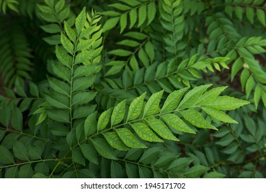 """Indian curry leaf plant also known as """"daun salam koja"""" in Indonesia, grown in the herb garden. Shallow depth of field. It's pretty green nature background."""