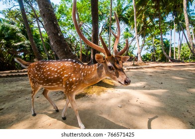 Indian Dear at Ross Island, Andaman and Nicobar, India