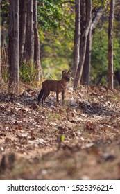 Indian Dhole or Wild Dog Standing Alert in Satpura Tiger Reserve, Madhya Pradesh, India