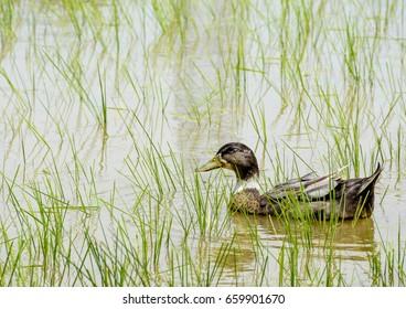 An Indian Duck