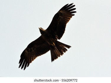Indian Eagle in actions