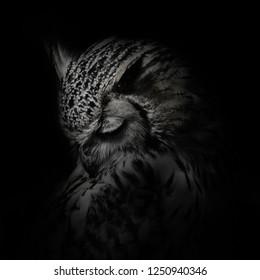 Indian Eagle Owl Portrait
