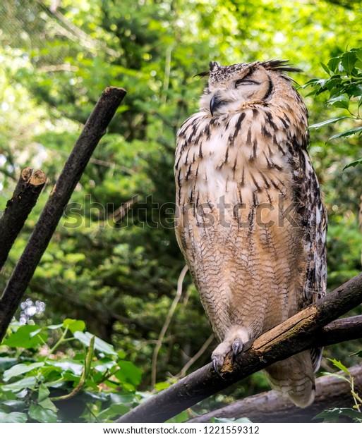 indian-eagleowl-called-rock-bengal-600w-