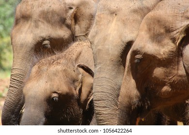 Indian Elepant in Sri Lanka