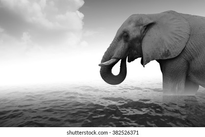 Indian elephant bathing in sea water - black and white photo