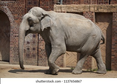 Indian elephant (Elephas maximus indicus).