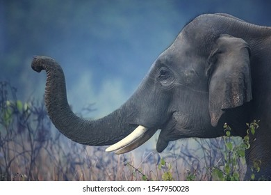 Indian elephant (Elephas maximus indicus) is one of three extant recognised subspecies of the Asian elephant and native to mainland Asia