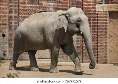 Indian elephant (Elephas maximus indicus).