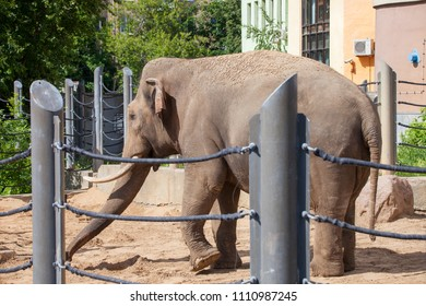 Indian elephant (Elephas maximus) in the Moscow Zoo