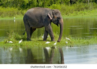 Indian Elephant, elphants are impotant to the locals they use elephants to work.