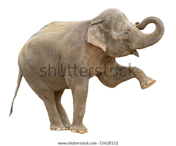 Indian elephant female making stance with leg and trunk up isolated on white background