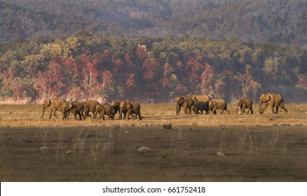 Indian Elephant heard walking the plains in Corbett National Park