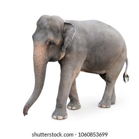 Indian elephant isolated on white