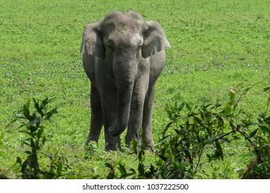 Indian Elephant - Kaziranga, Assam