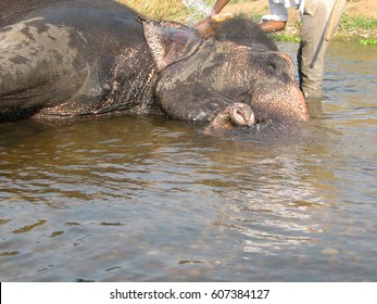 Indian elephant taking a bath in the river of Hampi, Karnataka, India.