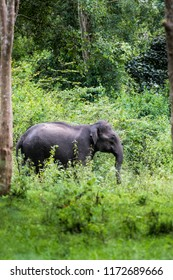 Indian elephant wandering in the Kabini forest.