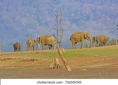 Indian Elephants on the Kabini River in Nagarhole National Park in India