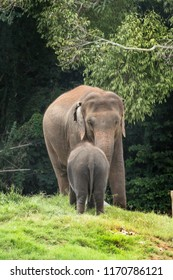Indian elephants wandering in the Kabini forest.