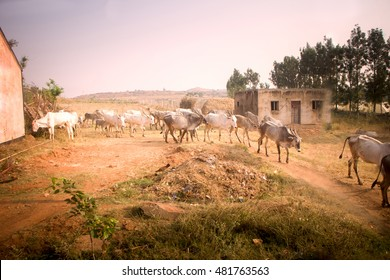 Indian farm in province Andhra Pradesh. Herd of zebu cattle (sacred bull, humped ox, Bos indicus) in yard in background of fields family household farm