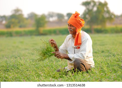 Indian farmer at the chickpea field, farmer showing chickpea plant