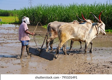 Indian Farmer Cultivating the land with Indian Bread Cow