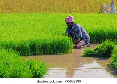 Indian farmer cutting the seedling