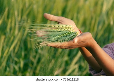 Indian farmer with fresh organic green wheat ear in crop field.