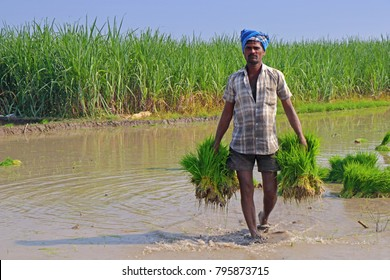 Indian Farmer Holding Rice Plants for planting
