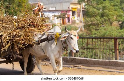 Indian farmer on a cart with a bull carries the dry reed leaves Govardhan Parikrama Marg.India, Barsana , November 2016