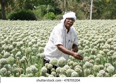 Indian farmer in onion field, Maharashtra, India.