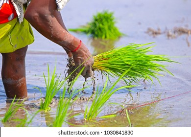 Indian Farmer Planting the Crops