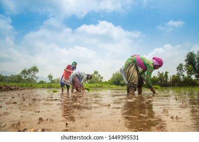 Indian farmer planting rice seedlings in the rice paddy field.