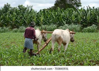 An Indian farmer ploughing the field in rural Karnataka.