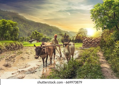 Indian farmer plowing rice fields with a pair of oxen using traditional plough at sunrise.
