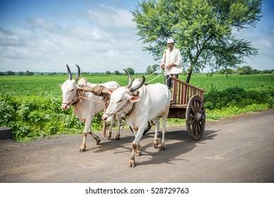 Indian farmer riding bullock cart, rural village, Salunkwadi, Ambajogai, Beed, Maharashtra, India.