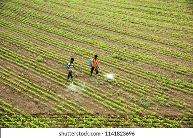 Indian farmer spraying pesticide in soybean fields.