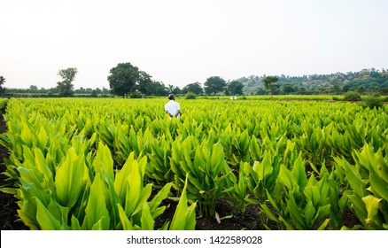 Indian farmer in Turmeric plant field at village, Maharashtra, India.