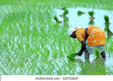 Indian farmer working on Field