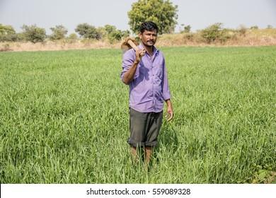 Indian Farmer working in a wheat field, Maharashtra, India.