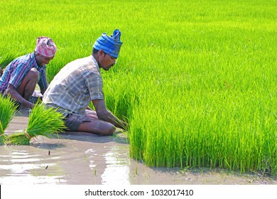 Indian farmers Pluckup the seedling