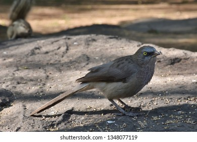 Indian female Blackbird Turdus simillimus nigropileus, species specially found in India and Sri Lanka. (Common) Blackbird Turdus merula. Beautiful Indian blackbird eating grains from the floor