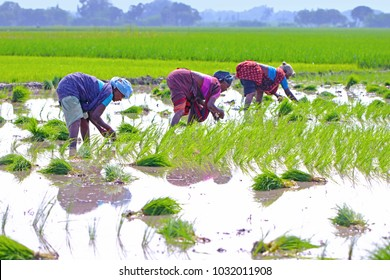 Indian Female Farmers Planting the Crops