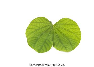 Indian Festival Dussehra, showing golden leaf on white background. Piliostigma racemosum. Greeting card.