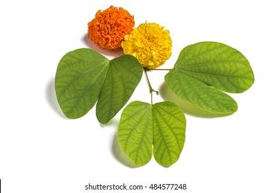 Indian Festival Dussehra, showing golden leaf (Piliostigma racemosum) and marigold flowers on white background. Piliostigma racemosum. Greeting card.