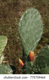 Indian fig opuntia, also known as prickly pear, tuna (fruit), sabra, nopal or paddle cactus. A spiny plant with tasty fruit, which is alien in Southern Europe.