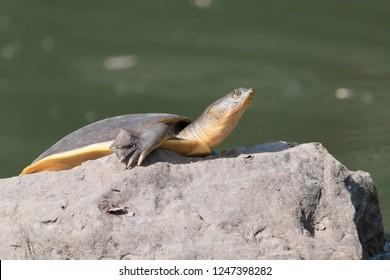 Indian flap shelled turtle (Lissemys punctata), Ranthambhore national park, Rajasthan, India