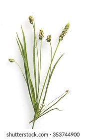 Indian flea seed; psyllium
